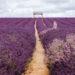 梅菲爾德薰衣草田 倫敦近郊小普羅旺斯 Mayfield Lavender Farm